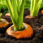 Sols appauvris: les fruits et légumes deviennent-ils moins nutritifs?